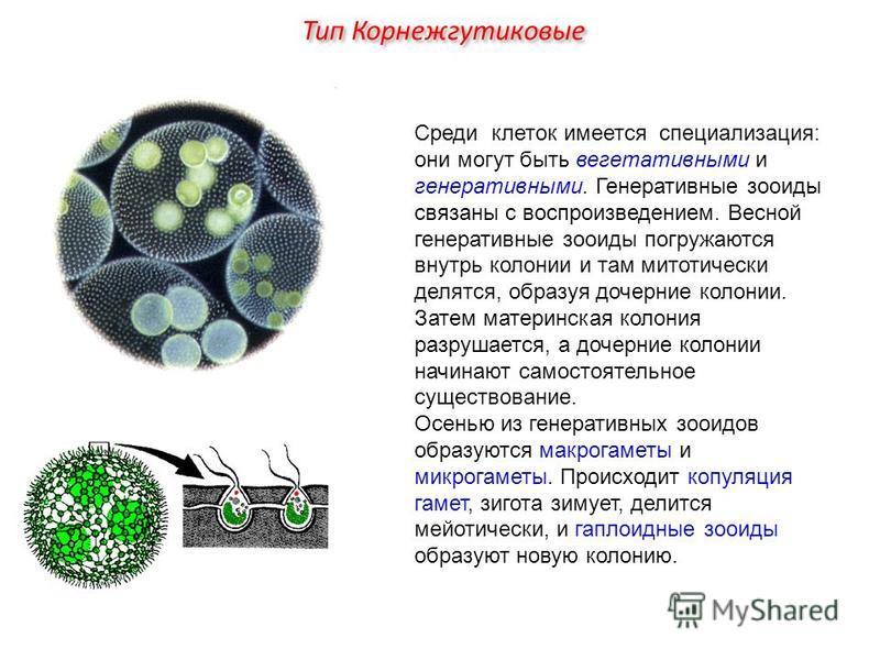 Среди клеток имеется специализация: они могут быть вегетативными и генеративными. Генеративные зооиды связаны с воспроизведением. Весной генеративные зооиды погружаются внутрь колонии и там митотический делятся, образуя дочерние колонии. Затем матери