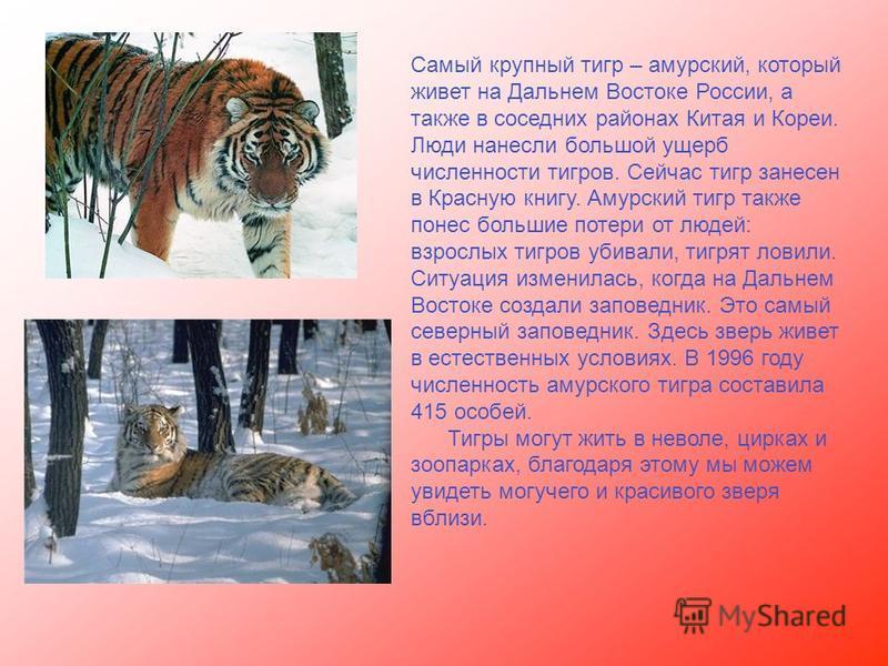 Самый крупный тигр – амурский, который живет на Дальнем Востоке России, а также в соседних районах Китая и Кореи. Люди нанесли большой ущерб численности тигров. Сейчас тигр занесен в Красную книгу. Амурский тигр также понес большие потери от людей: в