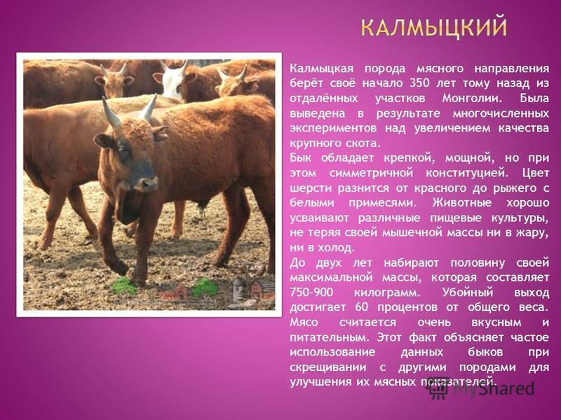Калмыцкая порода мясного направления берёт своё начало 350 лет тому назад из отдалённых участков Монголии. Была выведена в результате многочисленных экспериментов над увеличением качества крупного скота. Бык обладает крепкой, мощной, но при этом симм
