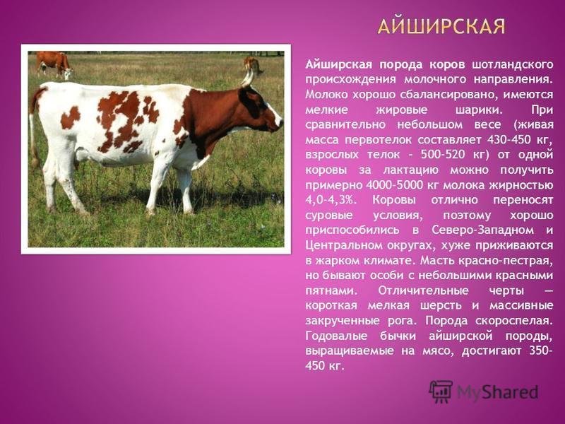 Айширская порода коров шотландского происхождения молочного направления. Молоко хорошо сбалансировано, имеются мелкие жировые шарики. При сравнительно небольшом весе (живая масса первотелок составляет 430-450 кг, взрослых телок – 500-520 кг) от одной