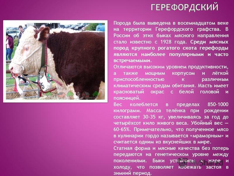 Порода была выведена в восемнадцатом веке на территории Герефордского графства. В России об этих быках мясного направления стало известно с 1928 года. Среди мясных пород крупного рогатого скота герефорды являются наиболее популярными и часто встречае