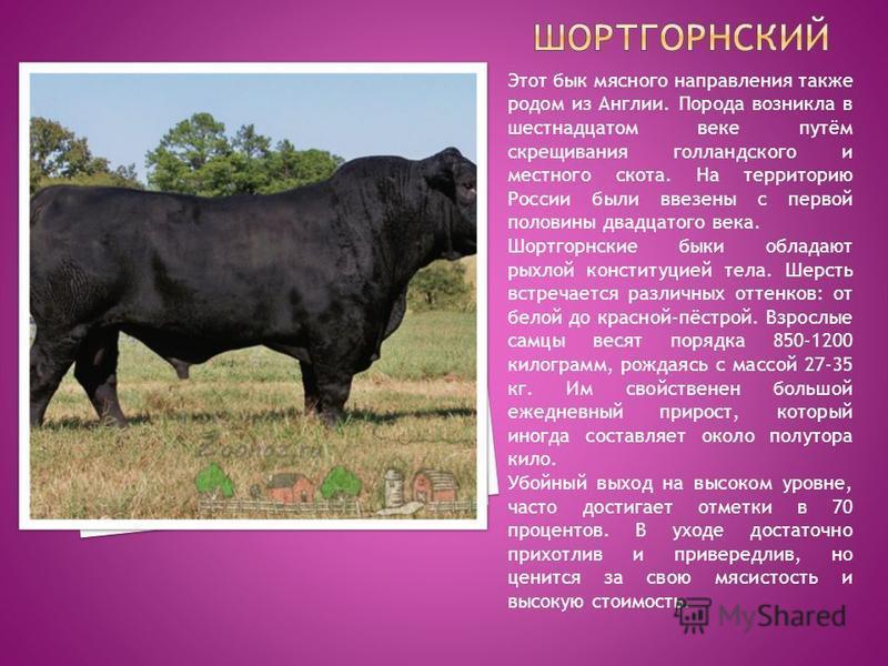 Этот бык мясного направления также родом из Англии. Порода возникла в шестнадцатом веке путём скрещивания голландского и местного скота. На территорию России были ввезены с первой половины двадцатого века. Шортгорнские быки обладают рыхлой конституци