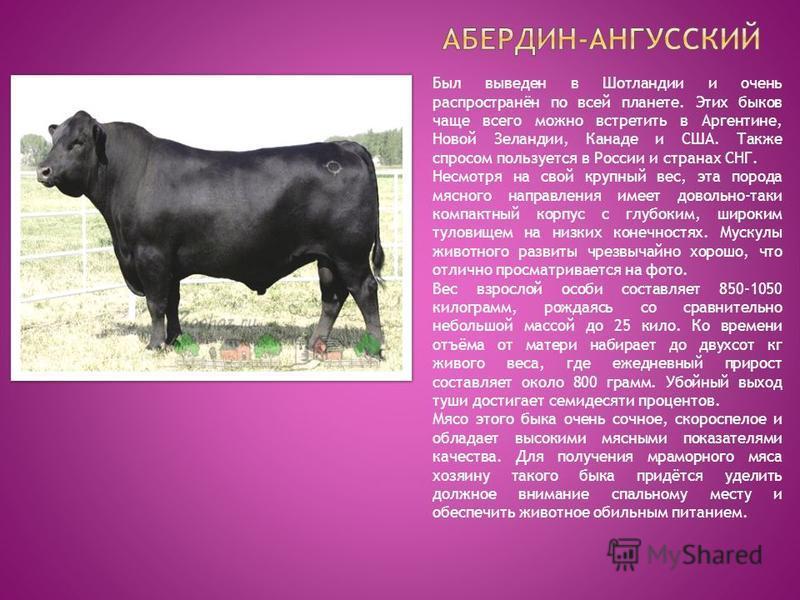 Был выведен в Шотландии и очень распространён по всей планете. Этих быков чаще всего можно встретить в Аргентине, Новой Зеландии, Канаде и США. Также спросом пользуется в России и странах СНГ. Несмотря на свой крупный вес, эта порода мясного направле