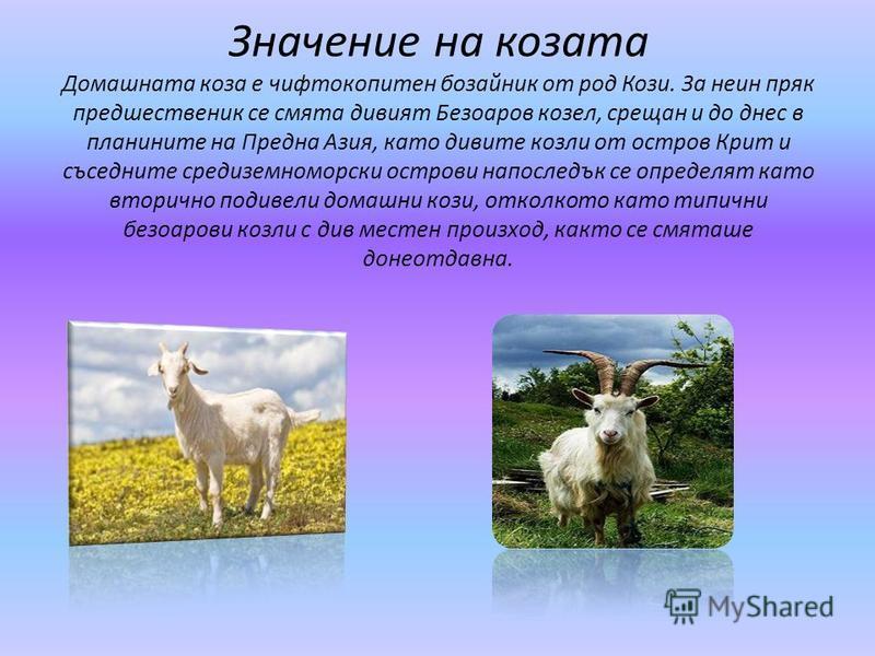 Значение на козата Домашната коза е чифтокопитен бозайник от род Кози. За неин пряк предшественик се смята дивият Безоаров козел, срещан и до днес в планините на Предна Азия, като дивите козли от остров Крит и съседните средиземноморски острови напос