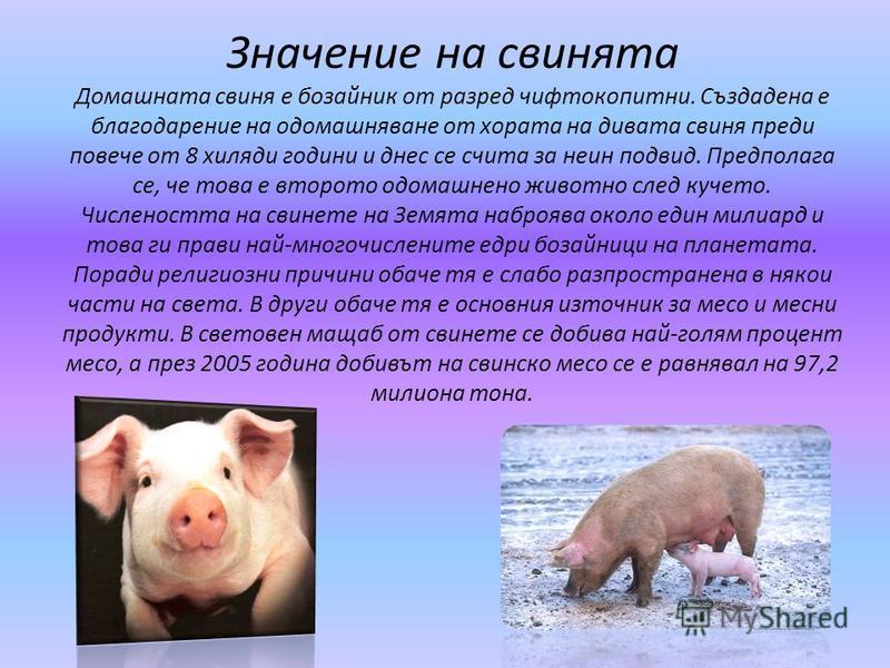 Значение на свинята Домашната свиня е бозайник от разред чифтокопитни. Създадена е благодарение на одомашняване от хората на дивата свиня преди повече от 8 хиляди години и днес се счита за неин подвид. Предполага се, че това е второто одомашнено живо