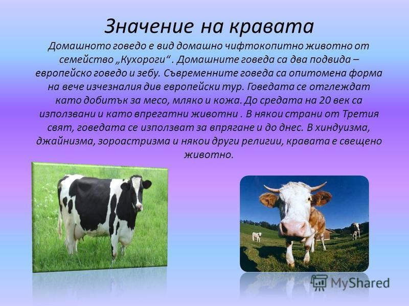 Значение на кравата Домашното говедо е вид домашно чифтокопитно животно от семейство Кухороги. Домашните говеда са два подвида – европейско говедо и зебу. Съвременните говеда са опитомена форма на вече изчезналия див европейски тур. Говедата се отгле