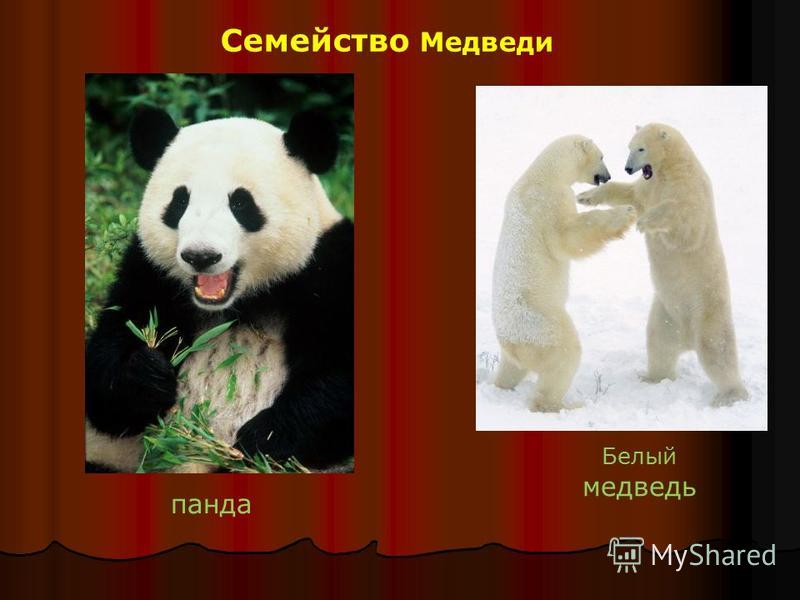 Семейство Медведи панда Белый медведь