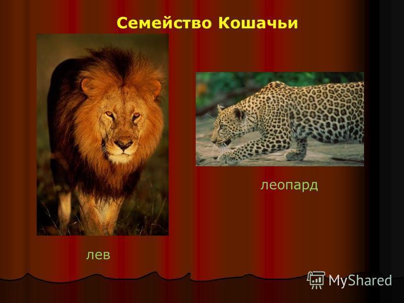 Семейство Кошачьи лев леопард