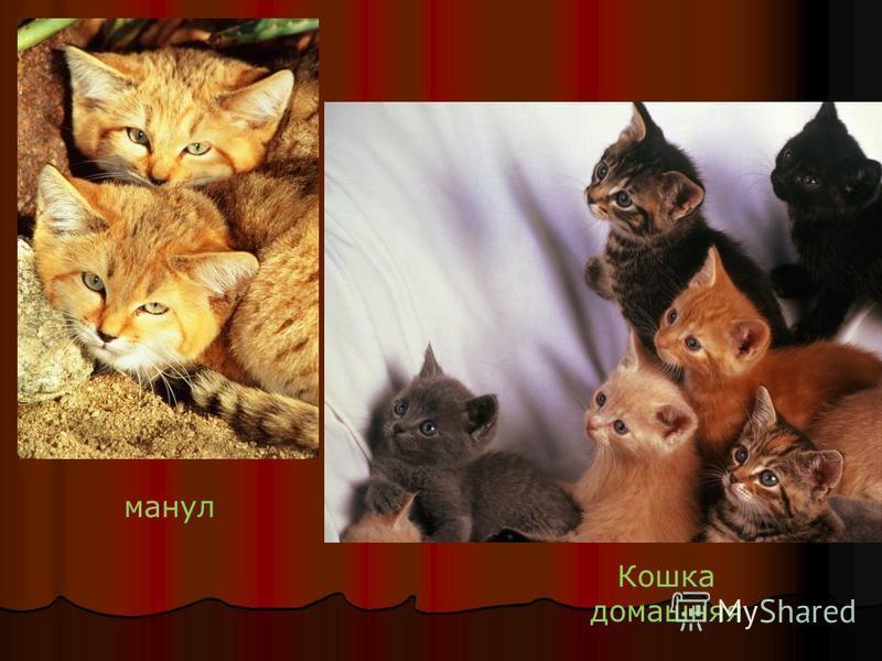 манул Кошка домашняя