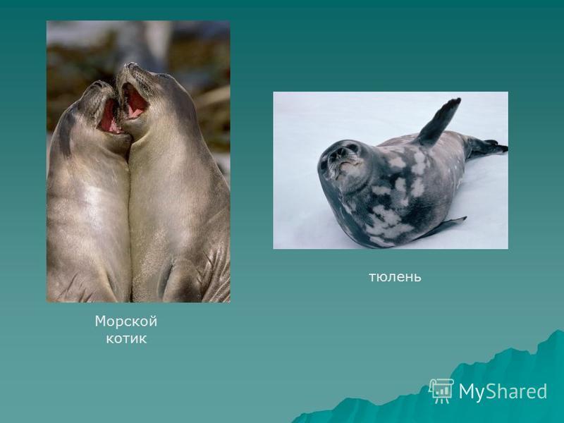 Морской котик тюлень
