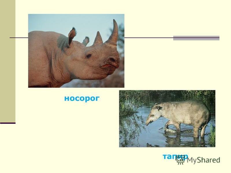 носорог тапир