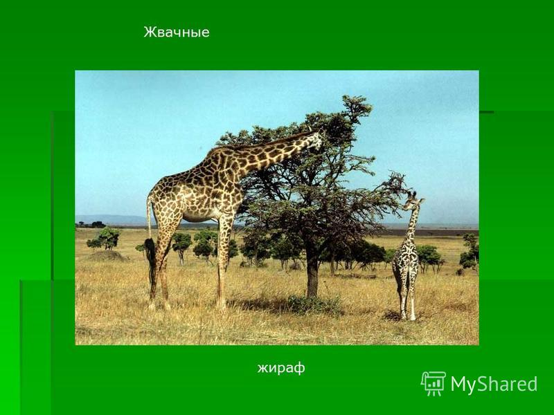 Жвачные жираф