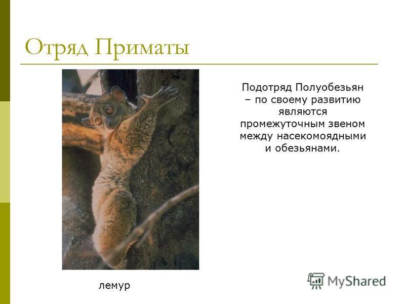Отряд Приматы лемур Подотряд Полуобезьян – по своему развитию являются промежуточным звеном между насекомоядными и обезьянами.