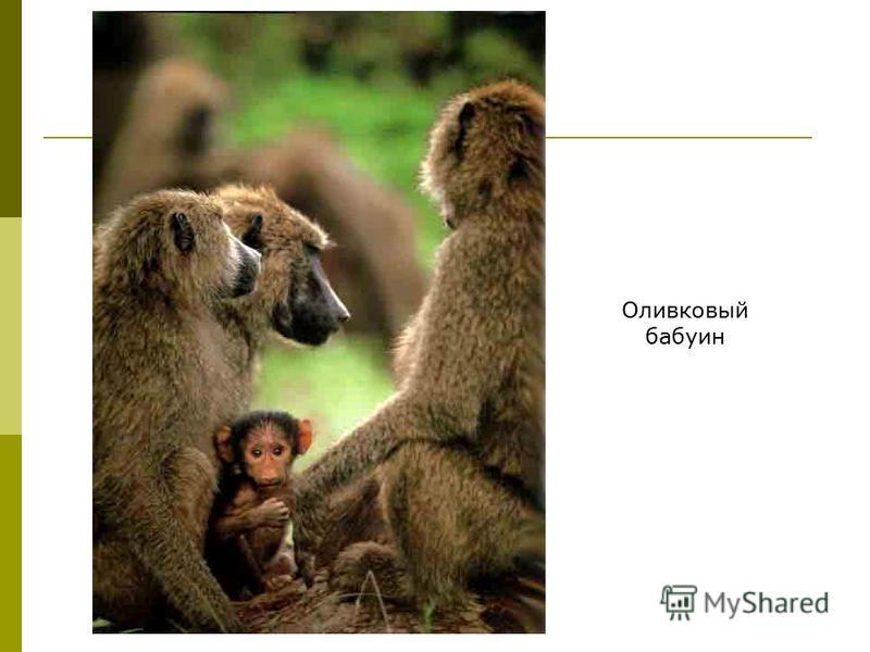 Оливковый бабуин