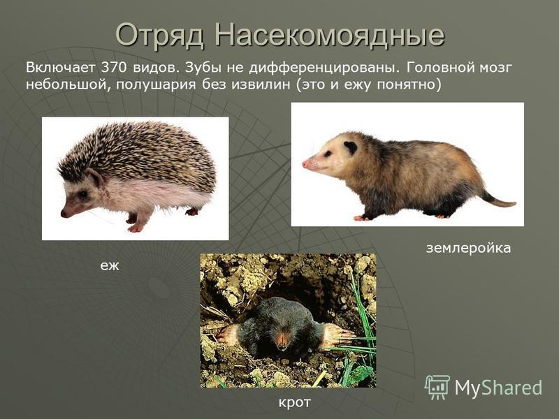 Отряд Насекомоядные Включает 370 видов. Зубы не дифференцированы. Головной мозг небольшой, полушария без извилин (это и ежу понятно) еж землеройка крот