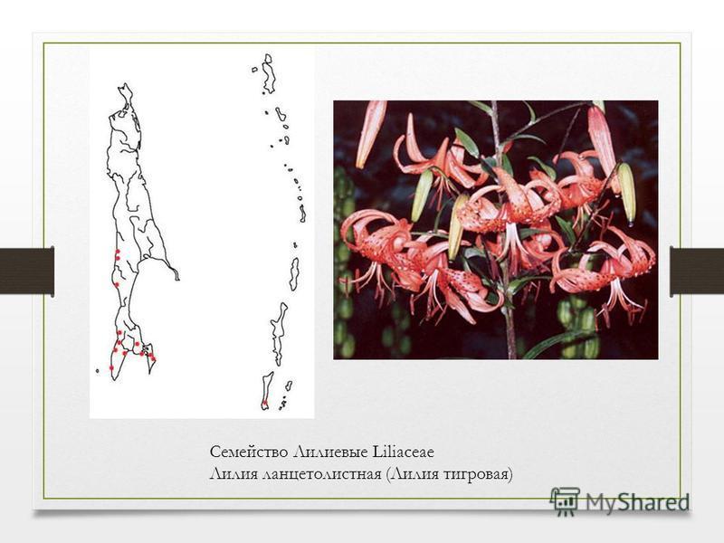 Семейство Лилиевые Liliaceae Лилия ланцетолистная (Лилия тигровая)