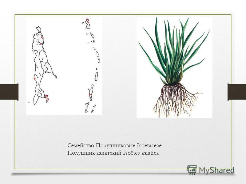 Семейство Полушниковые Isoetaceae Полушник азиатский Isoёtes asiatica