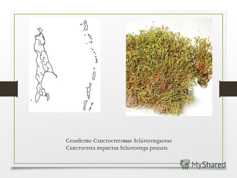 Семейство Схистостеговые Schistostegaceae Схистостега перистая Schistostega pennata