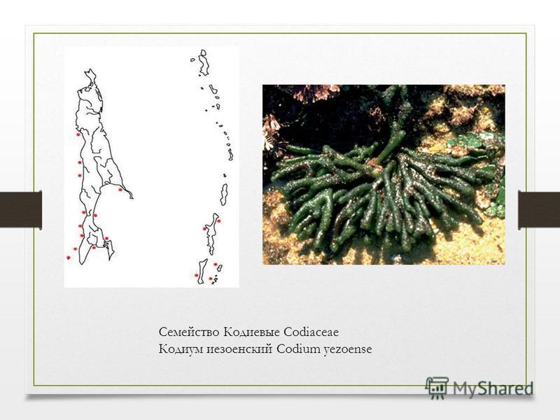 Семейство Кодиевые Codiaceae Кодиум иезоенский Codium yezoense