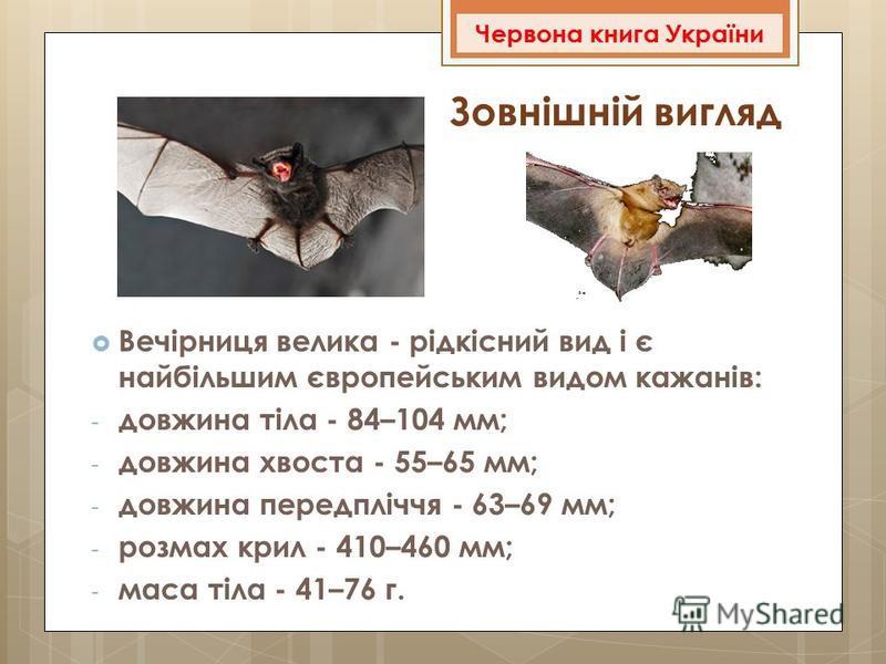 Зовнішній вигляд Вечірниця велика - рідкісний вид і є найбільшим європейським видом кажанів: - довжина тіла - 84–104 мм; - довжина хвоста - 55–65 мм; - довжина передпліччя - 63–69 мм; - розмах крил - 410–460 мм; - маса тіла - 41–76 г. Червона книга У