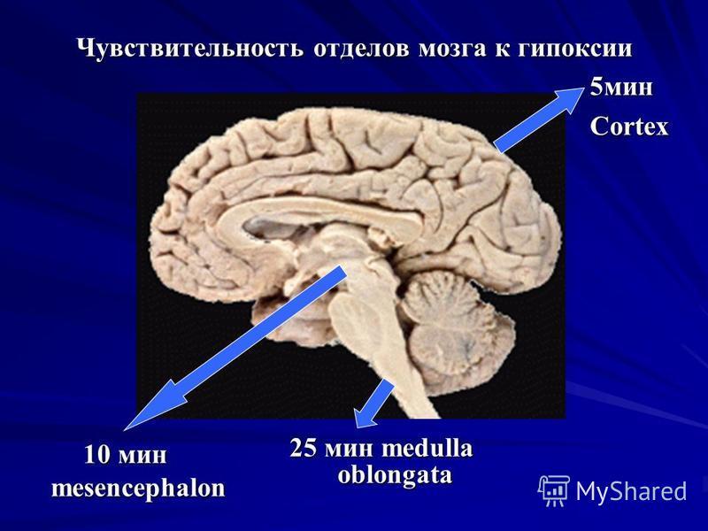 Чувствительность отделов мозга к гипоксии 25 мин medulla oblongata 5 минCortex 10 мин mesencephalon