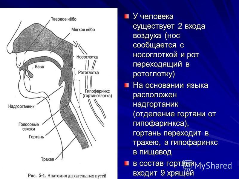 У человека существует 2 входа воздуха (нос сообщается с носоглоткой и рот переходящий в ротоглотку) На основании языка расположен надгортаник (отделение гортани от гипофаринкса), гортань переходит в трахею, а гипофаринкс в пищевод в состав гортани вх