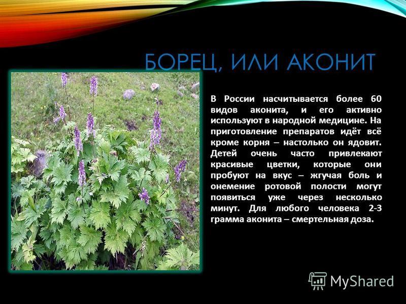 БОРЕЦ, ИЛИ АКОНИТ В России насчитывается более 60 видов аконита, и его активно используют в народной медицине. На приготовление препаратов идёт всё кроме корня – настолько он ядовит. Детей очень часто привлекают красивые цветки, которые они пробуют н