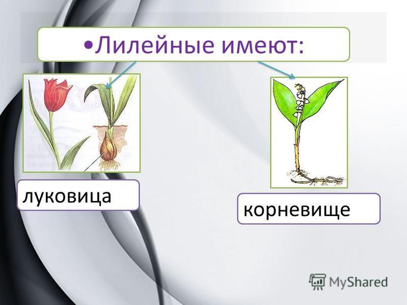 Лилейные имеют: луковица корневище