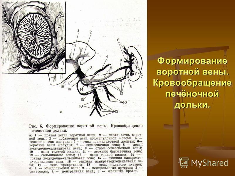 Формирование воротной вены. Кровообращение печёночной дольки.