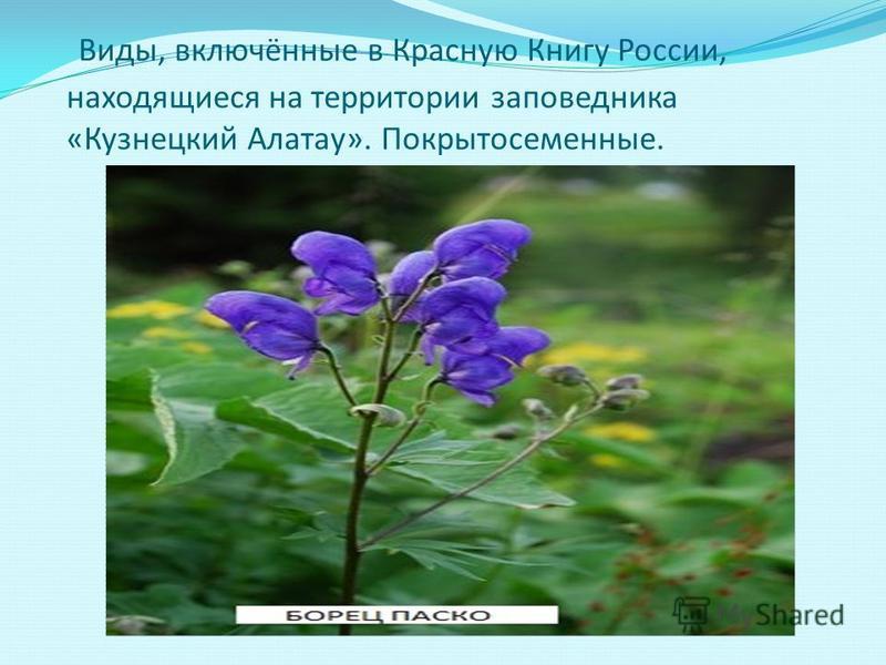 Виды, включённые в Красную Книгу России, находящиеся на территории заповедника «Кузнецкий Алатау». Покрытосеменные.