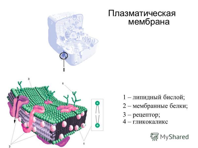 1 – липидный бислой; 2 – мембранные белки; 3 – рецептор; 4 – гликокаликс Плазматическая мембрана
