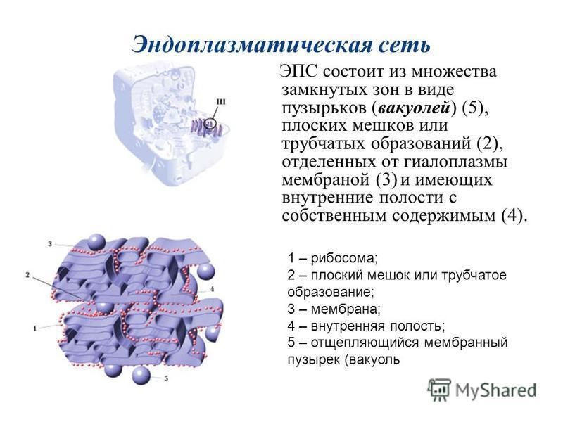 Эндоплазматическая сеть ЭПС состоит из множества замкнутых зон в виде пузырьков (вакуолей) (5), плоских мешков или трубчатых образований (2), отделенных от гиалоплазмы мембраной (3) и имеющих внутренние полости с собственным содержимым (4). 1 – рибос