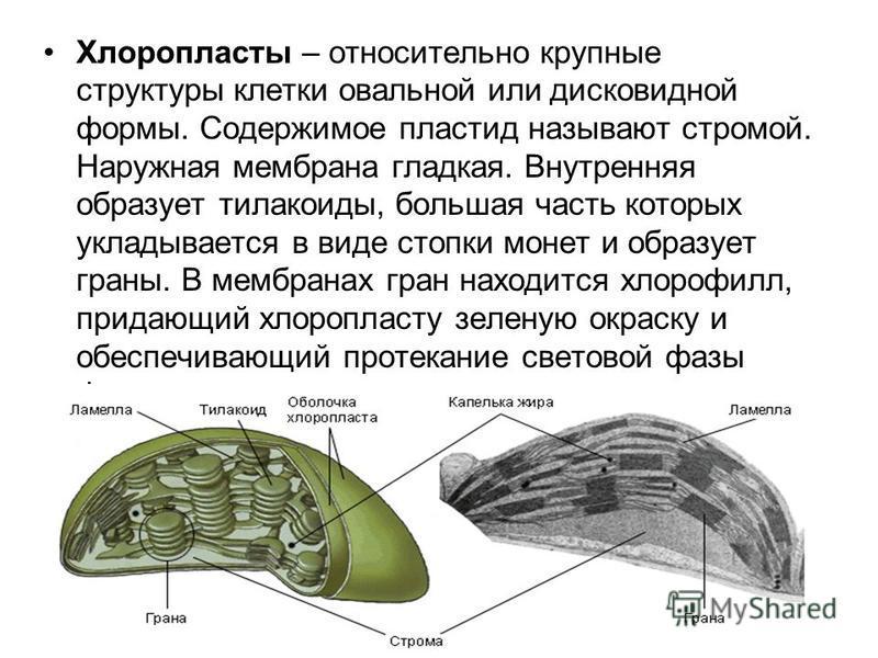 Хлоропласты – относительно крупные структуры клетки овальной или дисковидной формы. Содержимое пластид называют стромой. Наружная мембрана гладкая. Внутренняя образует тилакоиды, большая часть которых укладывается в виде стопки монет и образует граны
