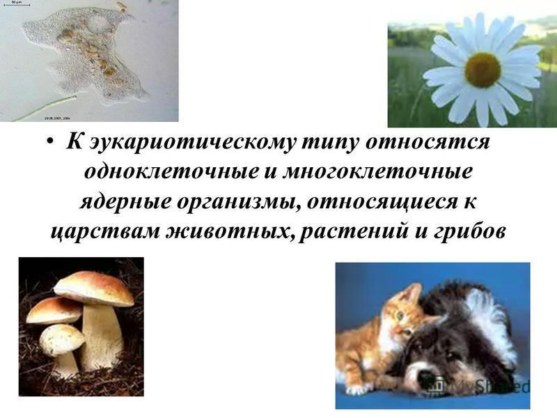 К эукариотическому типу относятся одноклеточные и многоклеточные ядерные организмы, относящиеся к царствам животных, растений и грибов