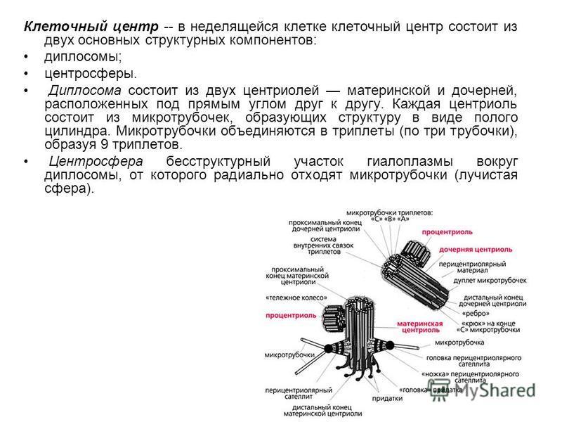 Клеточный центр -- в неделящейся клетке клеточный центр состоит из двух основных структурных компонентов: диплосомы; центросферы. Диплосома состоит из двух центриолей материнской и дочерней, расположенных под прямым углом друг к другу. Каждая центрио