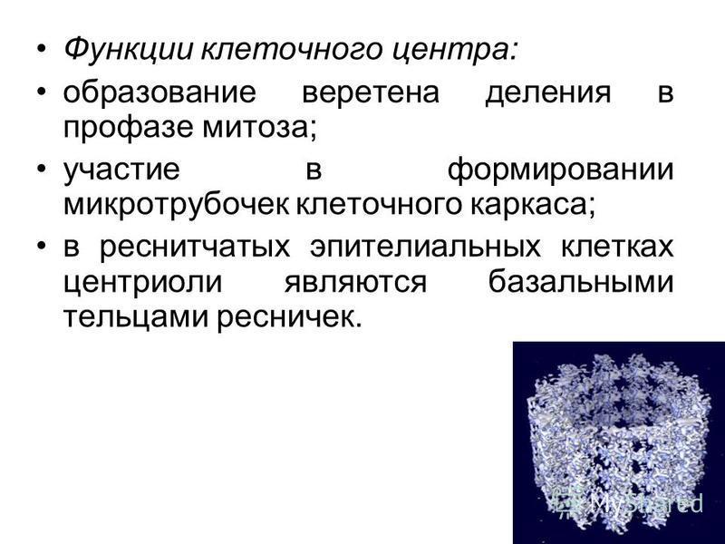 Функции клеточного центра: образование веретена деления в профазе митоза; участие в формировании микротрубочек клеточного каркаса; в реснитчатых эпителиальных клетках центриоли являются базальными тельцами ресничек.