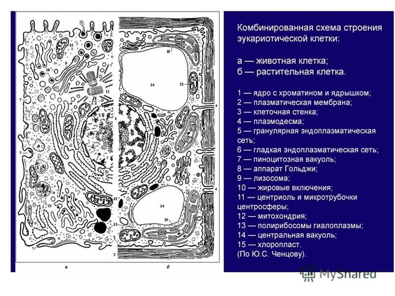 Эукариотическая клетка схема строения