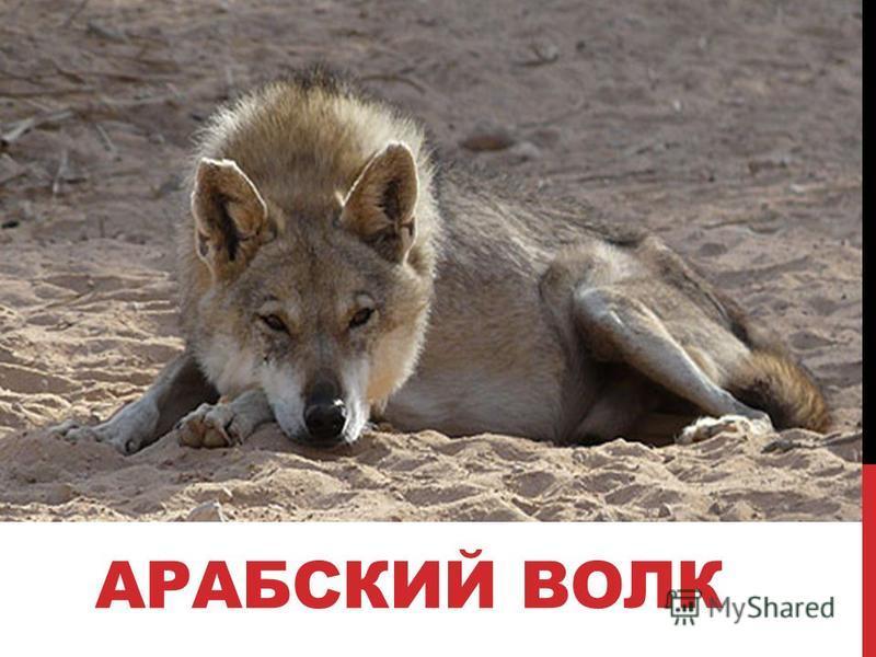 АРАБСКИЙ ВОЛК