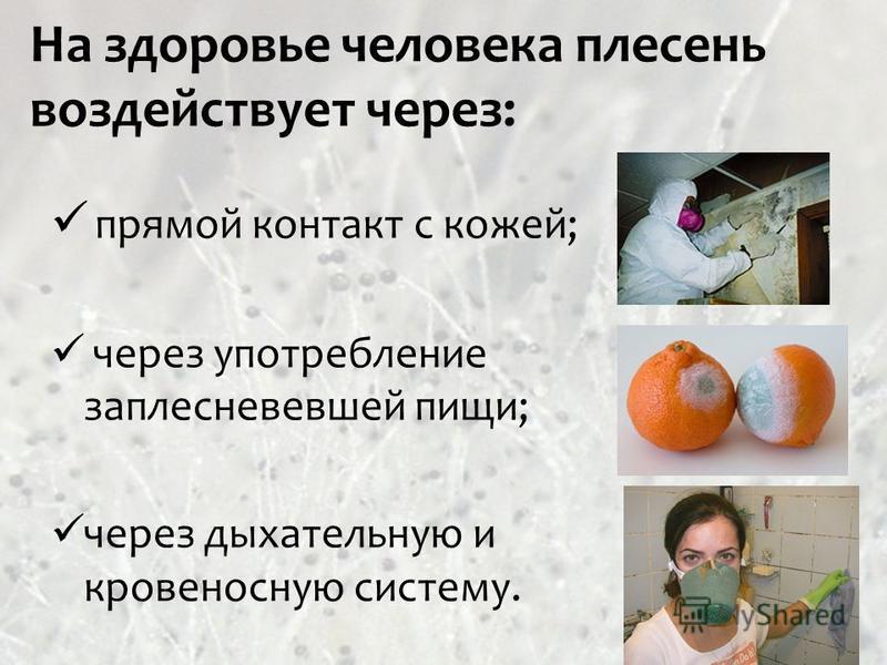На здоровье человека плесень воздействует через: прямой контакт с кожей; через употребление заплесневевшей пищи; через дыхательную и кровеносную систему.