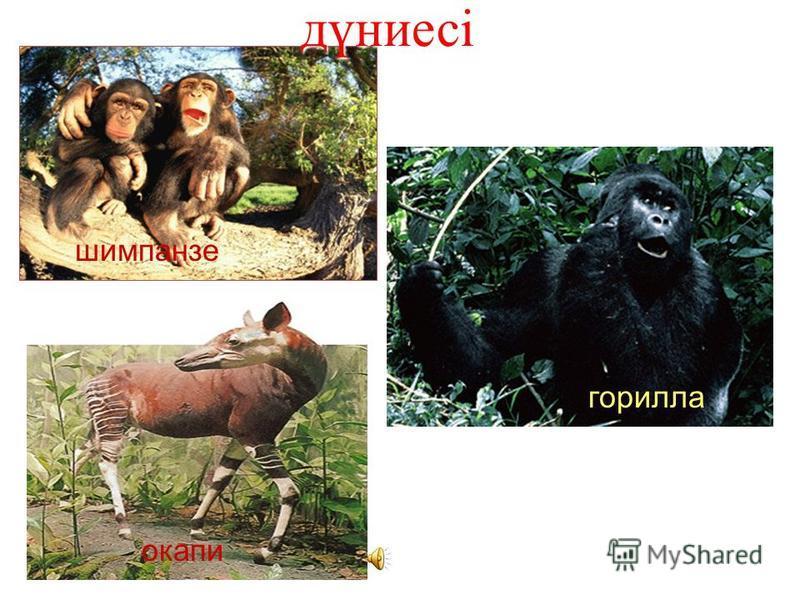 Жануарлар дүниесі шимпанзе окапи горилла