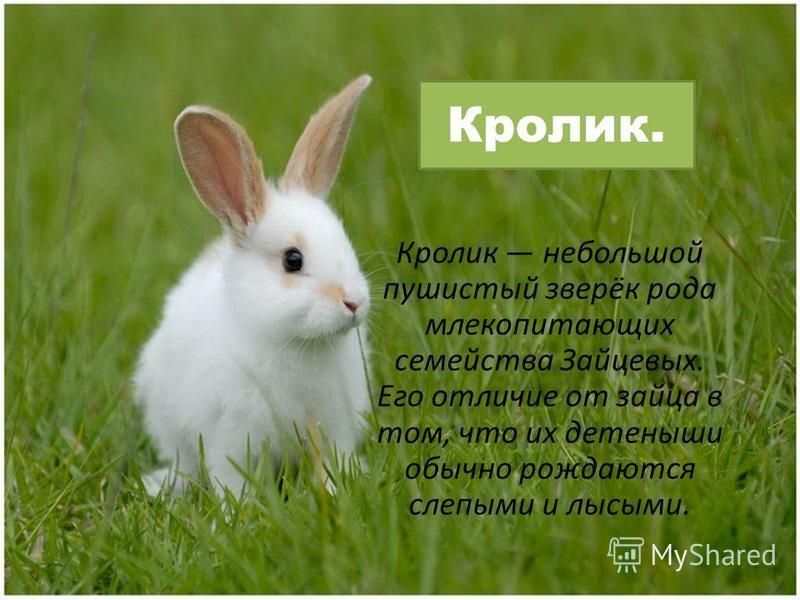 Кролик. Кролик небольшой пушистый зверёк рода млекопитающих семейства Зайцевых. Его отличие от зайца в том, что их детеныши обычно рождаются слепыми и лысыми.