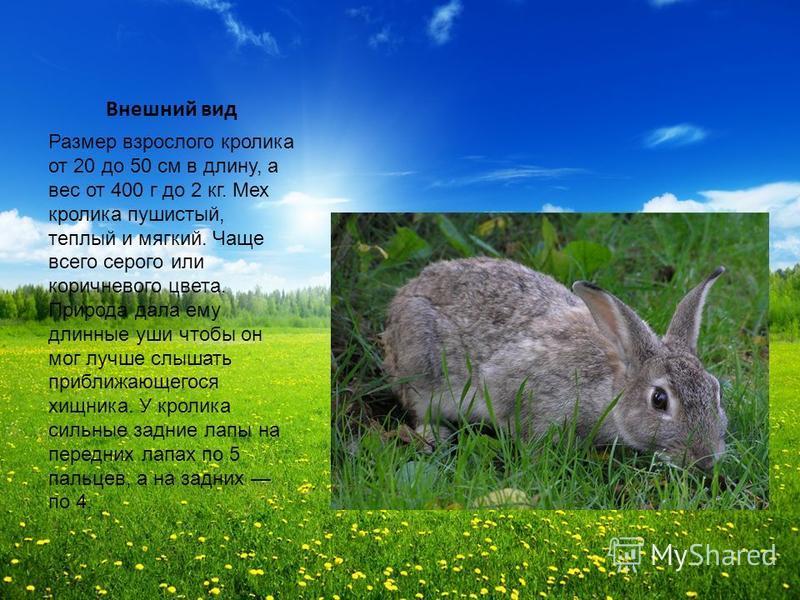 Внешний вид Размер взрослого кролика от 20 до 50 см в длину, а вес от 400 г до 2 кг. Мех кролика пушистый, теплый и мягкий. Чаще всего серого или коричневого цвета. Природа дала ему длинные уши чтобы он мог лучше слышать приближающегося хищника. У кр