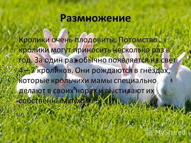 Размножение Кролики очень плодовиты. Потомство кролики могут приносить несколько раз в год. За один раз обычно появляется на свет 47 кроликов. Они рождаются в гнёздах, которые крольчихи мамы специально делают в своих норах и выстилают их собственным