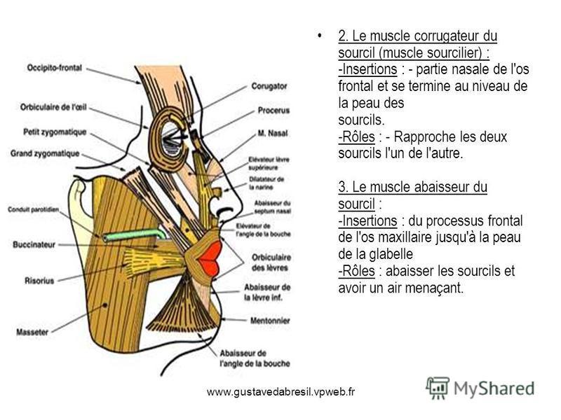 2. Le muscle corrugateur du sourcil (muscle sourcilier) : -Insertions : - partie nasale de l'os frontal et se termine au niveau de la peau des sourcils. -Rôles : - Rapproche les deux sourcils l'un de l'autre. 3. Le muscle abaisseur du sourcil : -Inse