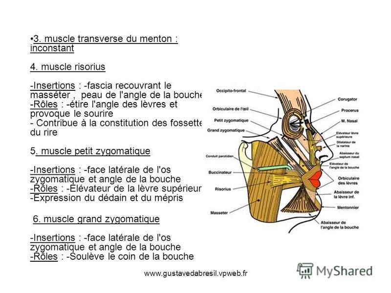 www.gustavedabresil.vpweb.fr 3. muscle transverse du menton : inconstant 4. muscle risorius -Insertions : -fascia recouvrant le masséter, peau de l'angle de la bouche -Rôles : -étire l'angle des lèvres et provoque le sourire - Contribue à la constitu
