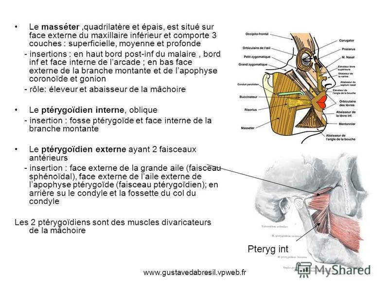 www.gustavedabresil.vpweb.fr Le masséter,quadrilatère et épais, est situé sur face externe du maxillaire inférieur et comporte 3 couches : superficielle, moyenne et profonde - insertions : en haut bord post-inf du malaire, bord inf et face interne de