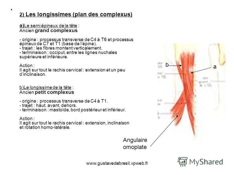 www.gustavedabresil.vpweb.fr 2) Les longissimes (plan des complexus) a) Le semi épineux de la tête : Ancien grand complexus - origine : processus transverse de C4 à T6 et processus épineux de C7 et T1 (base de lépine). - trajet : les fibres montent v