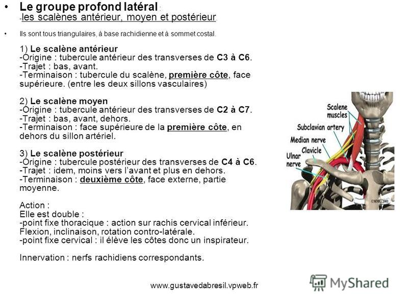 www.gustavedabresil.vpweb.fr Le groupe profond latéral : - les scalènes antérieur, moyen et postérieur. Ils sont tous triangulaires, à base rachidienne et à sommet costal. 1) Le scalène antérieur -Origine : tubercule antérieur des transverses de C3 à