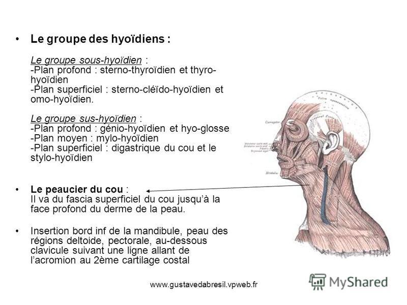 www.gustavedabresil.vpweb.fr Le groupe des hyoïdiens : Le groupe sous-hyoïdien : -Plan profond : sterno-thyroïdien et thyro- hyoïdien -Plan superficiel : sterno-cléïdo-hyoïdien et omo-hyoïdien. Le groupe sus-hyoïdien : -Plan profond : génio-hyoïdien