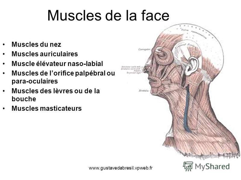 www.gustavedabresil.vpweb.fr Muscles de la face Muscles du nez Muscles auriculaires Muscle élévateur naso-labial Muscles de lorifice palpébral ou para-oculaires Muscles des lèvres ou de la bouche Muscles masticateurs